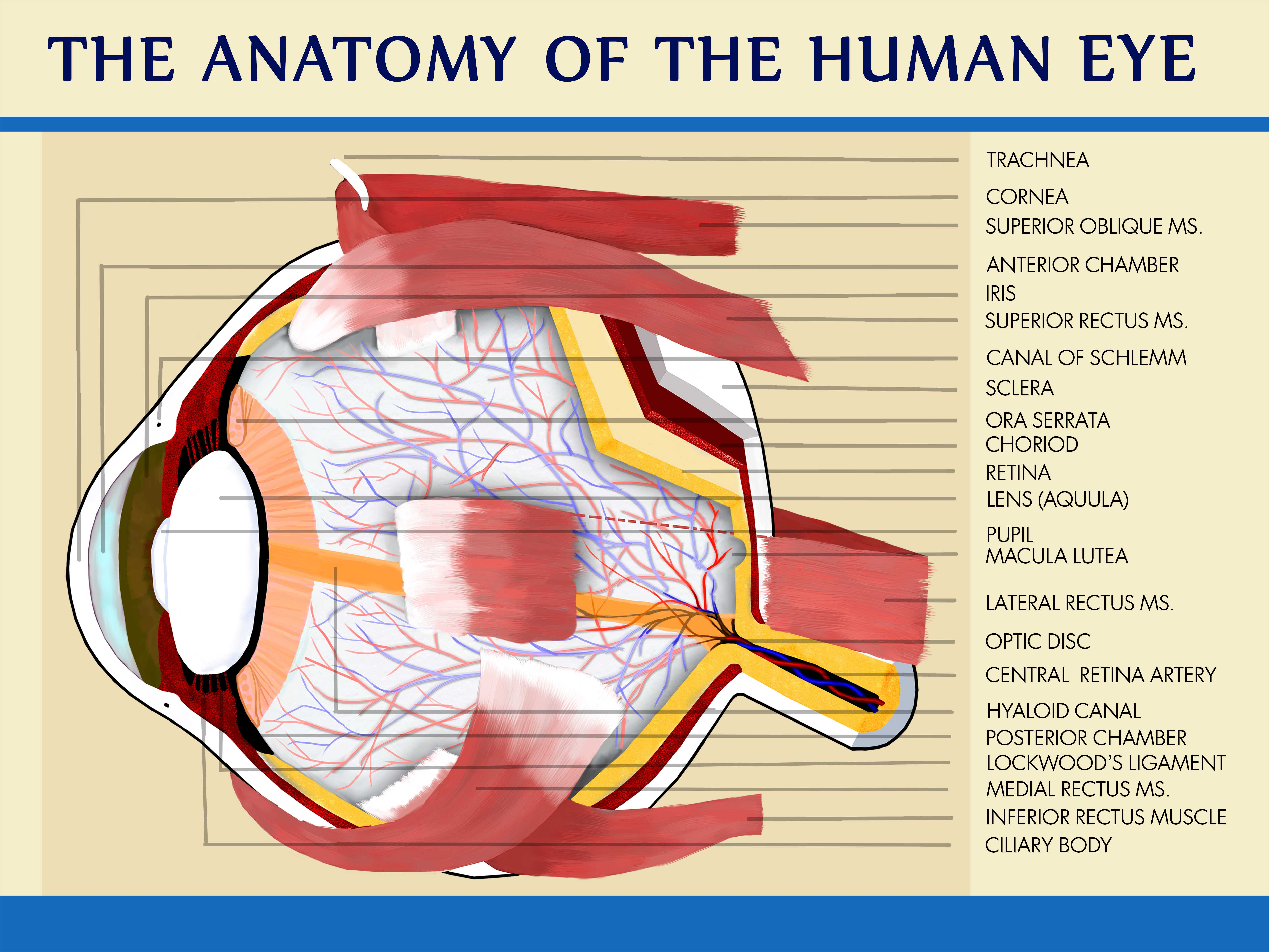 anatomical drawing of the eye