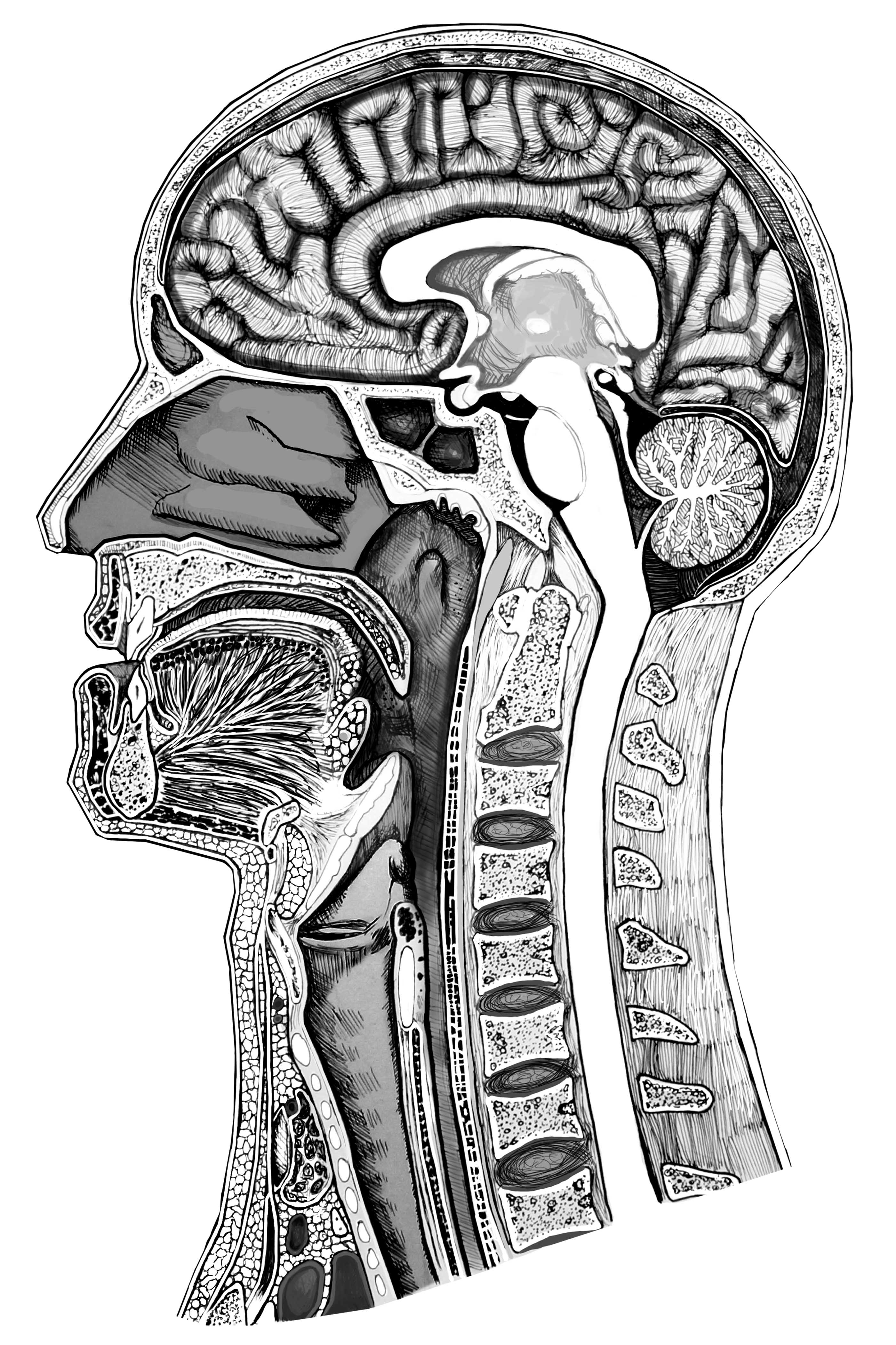 Anatomical drawing of the head and neck